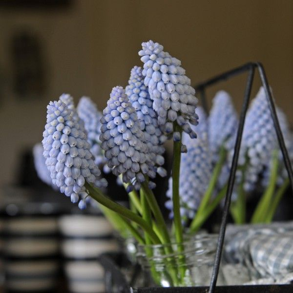 Muscari Baby's Breath - Bulbes speciaux