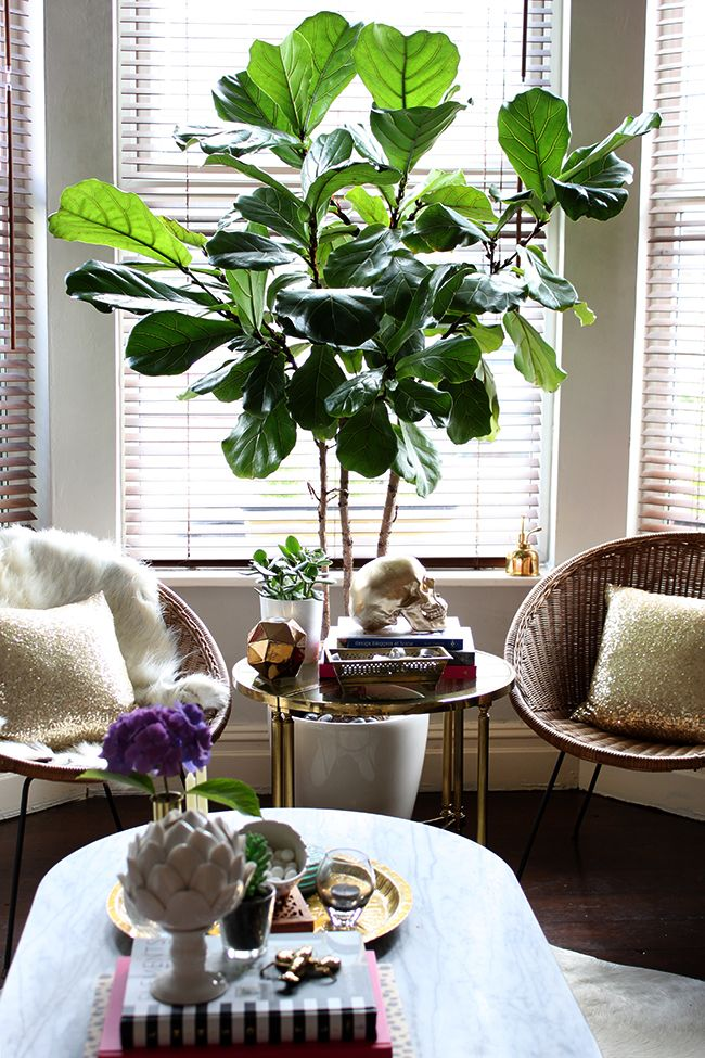 My fiddle leaf fig tree: Was it worth the money? » Swoon Worthy
