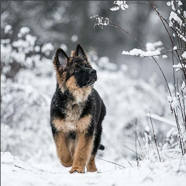 Pretty German shepherd puppy in the snow.