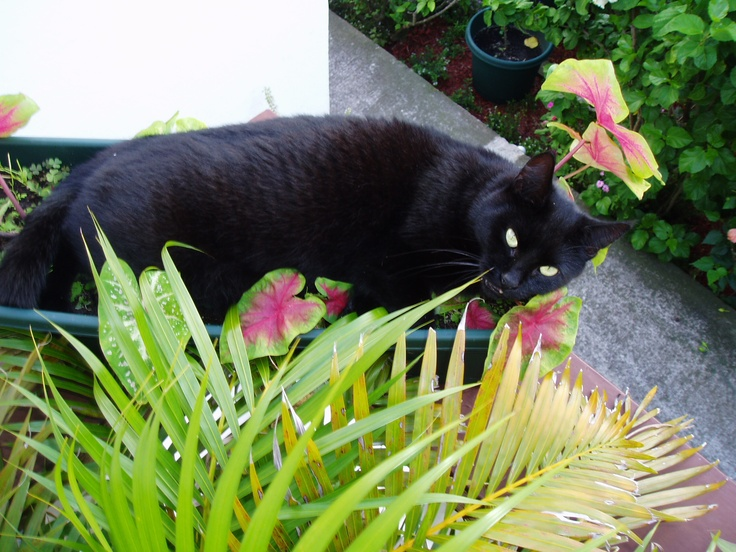 Zion, on of the cats at Juliana's Hotel & Tropics Cafe, Saba Dutch Caribbean