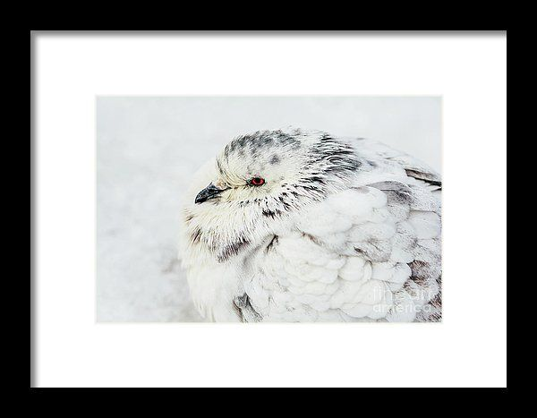 White And Gray Pigeon Bird Freezing In Cold Winter Weather Framed Print