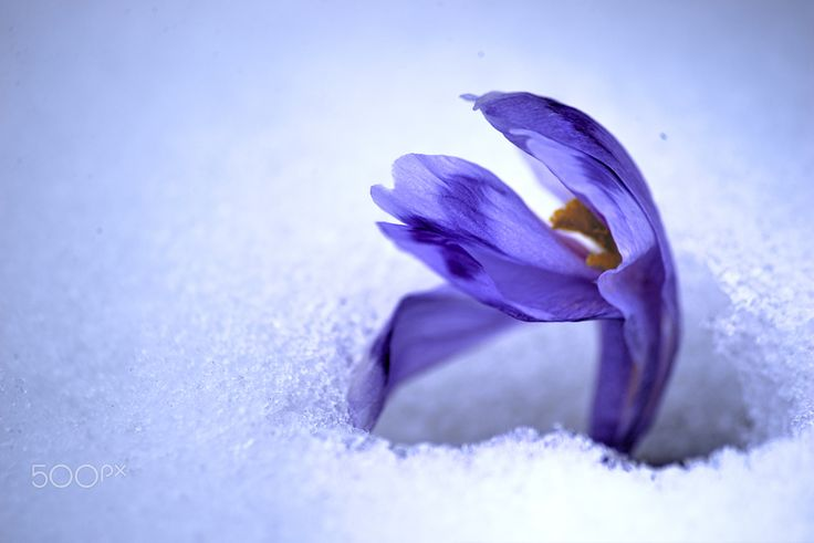 crocus - crocus in the snow