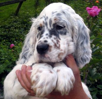 english setter pup I'm completely done this is too cute ok omg