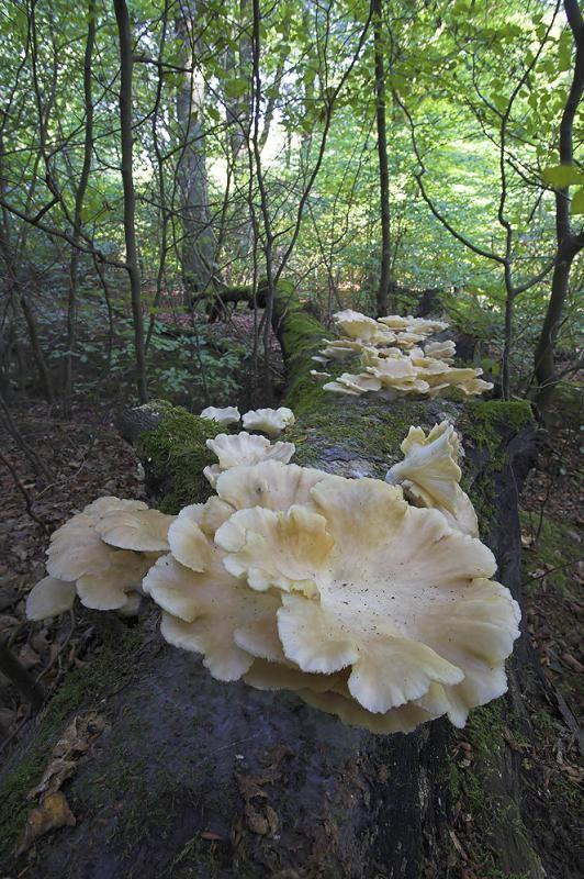 Oyster mushroom, Pleurotus
