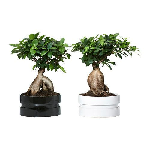 FICUS MICROCARPA GINSENG Potted plant with pot Bonsai/assorted colours 22 cm  - IKEA