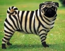 Improve Your Pug Picture Finding - http://weloveourpugs.net/improve-your-pug-picture-finding/
