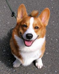 Pembroke Welsh Corgi Breed: History, Temperament, Care, Training ...