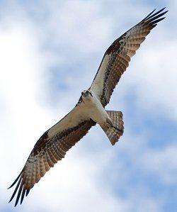 Identify Birds in Flight: Wing shape and markings can help identify birds in flight.