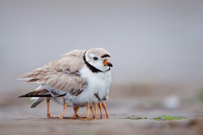Plum Island, Massachusetts. Un chorlitejo silbador protege a sus polluelos. · Revista National Geographic · Visiones de la tierra