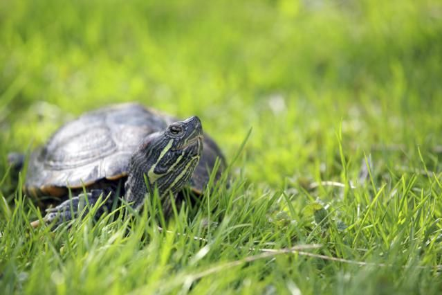 How to Tell if Your Red-Eared Slider Is Male or Female