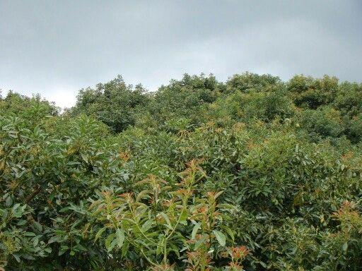 Cultivo de aguacate. La Ceja Antioquia Colombia./jcrp