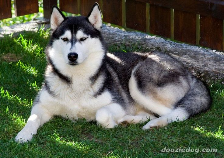 In 1920, a team of 20 Siberian Huskies pulled a sled 340 miles, carrying vaccines to the diphtheria-stricken city of Nome, saving the population.