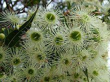 Corymbia gummifera