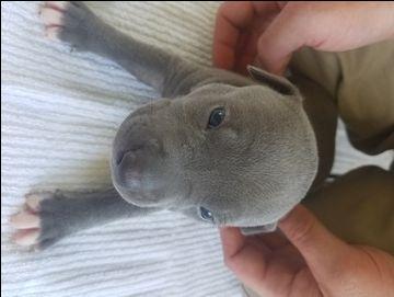 Litter of 7 American Pit Bull Terrier puppies for sale in HUBERT, NC. ADN-38887 on PuppyFinder.com Gender: Female. Age: 3 Weeks Old