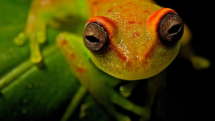 Awesome tree frog pic, 1920x1080 (267 kB)