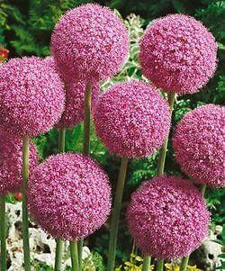 Allium 'Giganteum' - A summer blooming Allium that reaches great heights, 5-6 feet. Zones 6-10