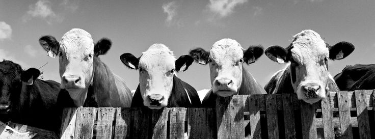 West of Ireland curious cows, ireland photography by patrickdonald on Etsy