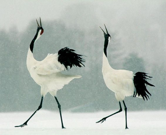 Japanese Cranes Dancing/ Google Image Result for http://gallery.photo.net/photo/1709110-md.jpg