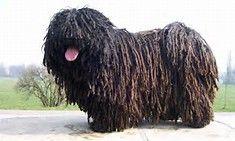 Puli Dog - Bing Images