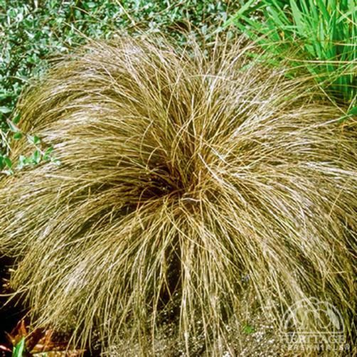 17 best images about ornamental grasses sedges rushes for Tall grasses for shade