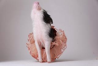 Pygmy Pig....I want one.