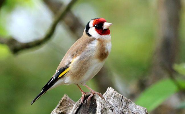 Chardonneret Elegant Carduelis Carduelis L Oiseau Au Plumage Tres Colore Chardonneret Chardonneret Elegant Oiseaux