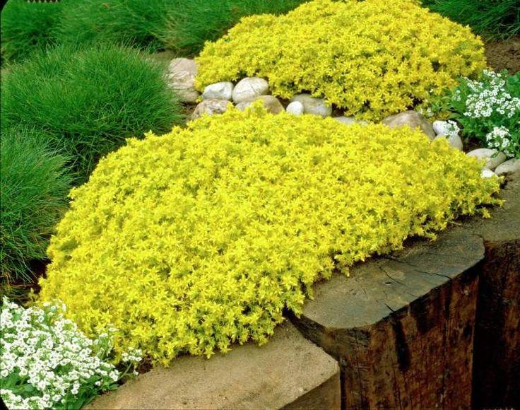 Pflanzen für Steingarten Sedum-acre-Aureum-Scharfer-Mauerpfeffer