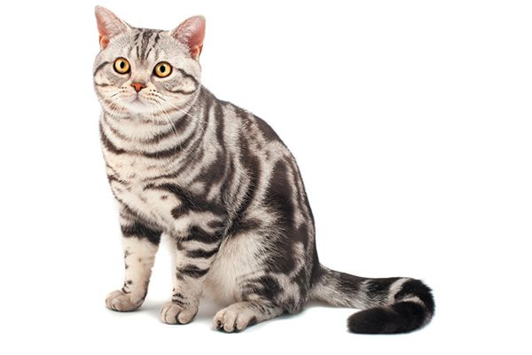The 5 Tabby Cat Patterns Catster American Shorthair Cat Cat