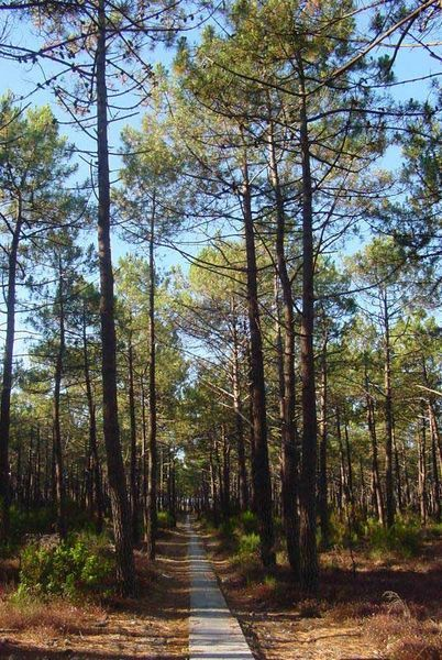 Essential Oil of Pine: Uses and Benefits of Pine Oil. Recipe for pine oil cleaner - kills mold and germs.
