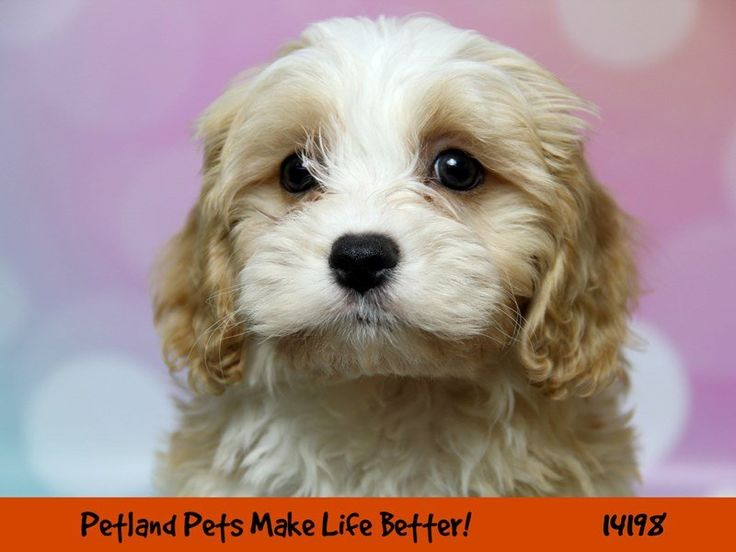 Petland puppies for sale illinois