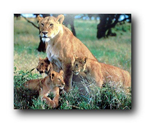 Absolutely Fabulous! This Beautiful and charming wall poster which captures the image of lion cubs sitting with their mother will definitely add a distinctive touch to any room. It will provide a touch of color to any transitional or nature inspired room decor theme. What are you waiting for grab this charming poster for its high quality gloss finish paper with archival quality inks which ensures long lasting beauty and color fading.