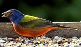 Painted Bunting: Painted Bunting - Male