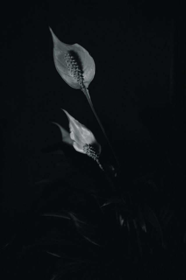 Peace lily the come back pinterest peace peace lily for Peace lily betta fish