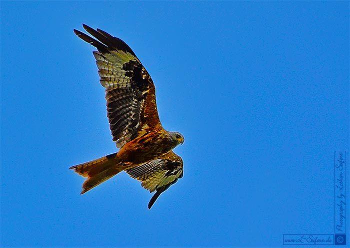 Bild Roter Milan. Der Greifvogel wird auch Rotmilan, Gabelweihe oder Königsweihe genannt. Fotografie von Lothar Seifert