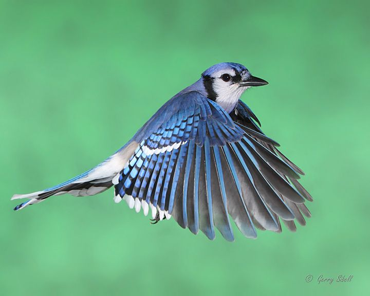 The Blue Jay is a common species in Nova Scotia