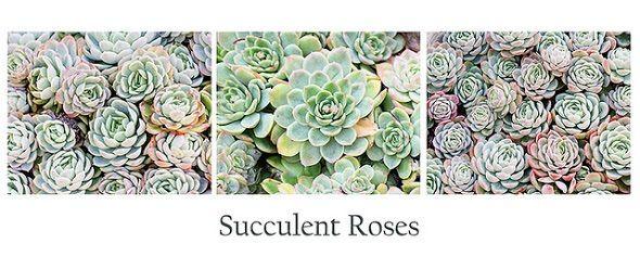 Succulent roses