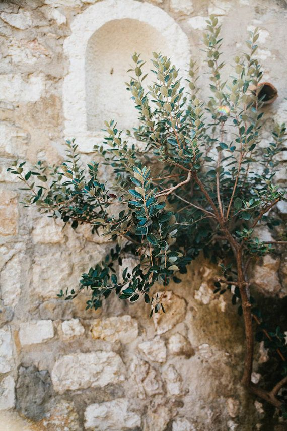 ♔ Olive tree ~ French country