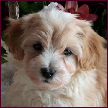Maltipoo...ohmygodimgonnadie from an attack of acute cuteness!