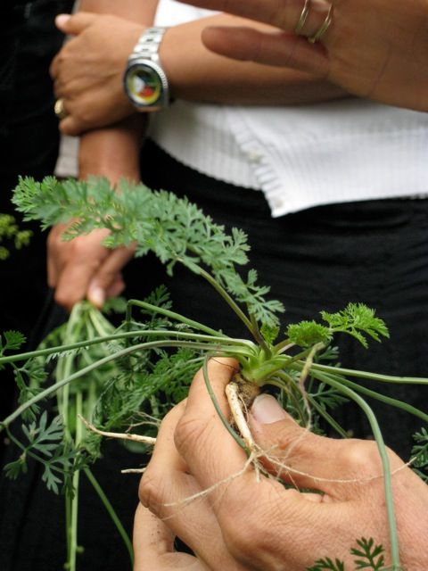 carota selvatica, si utilizza sia le foglie che la radice