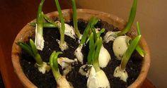 Comment faire pousser de l'ail chez soi ? Astuce simple et facile pour cultiver l'ail à la maison. Cultiver chez soi l'ail en économisant de l'argent