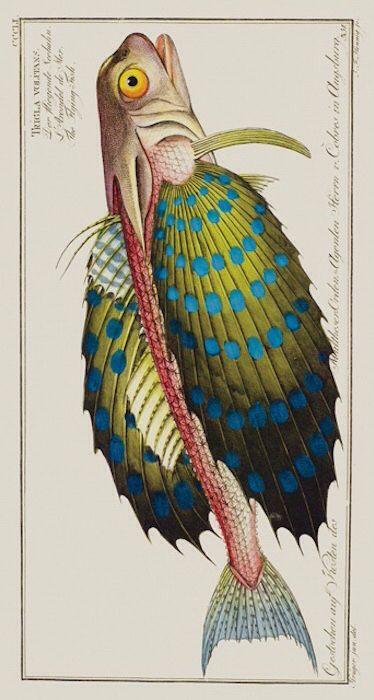 / flying fish illustration from allgemeine naturgeschichte der fische by author illustrator marcus elieser bloch / (723–1799 /                                                                                                                                                                                 Mehr