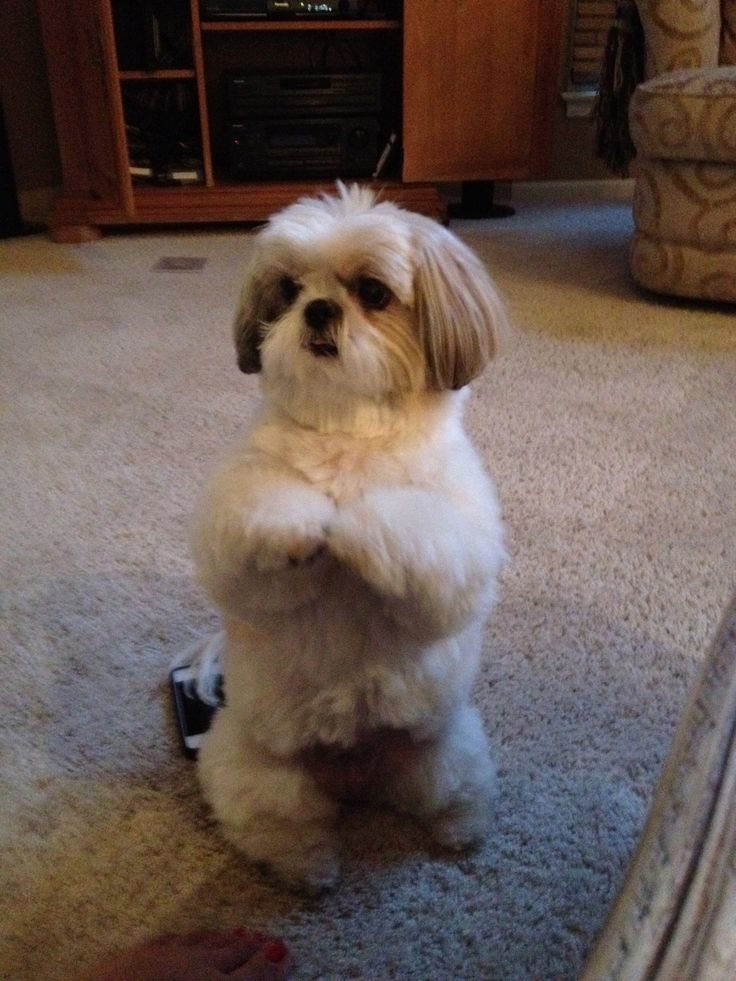 shih tzu photos pictures shih tzus 597 best shih tzu pictures images on pinterest