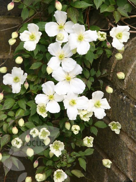 Clematis montana var. 'grandiflora'.  A vigorous climber that spreads quickly.  Has a light scent.