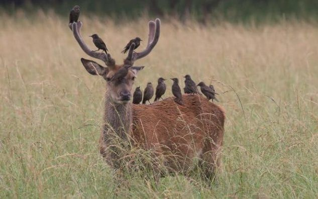 A deer stands oblivious to 12 starlings that have taken up residence upon it in Richmond Park
