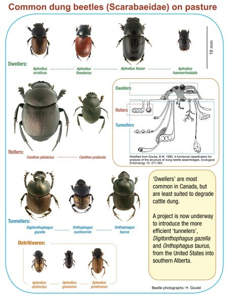 Collection of images of common dung beetles found in cattle dung