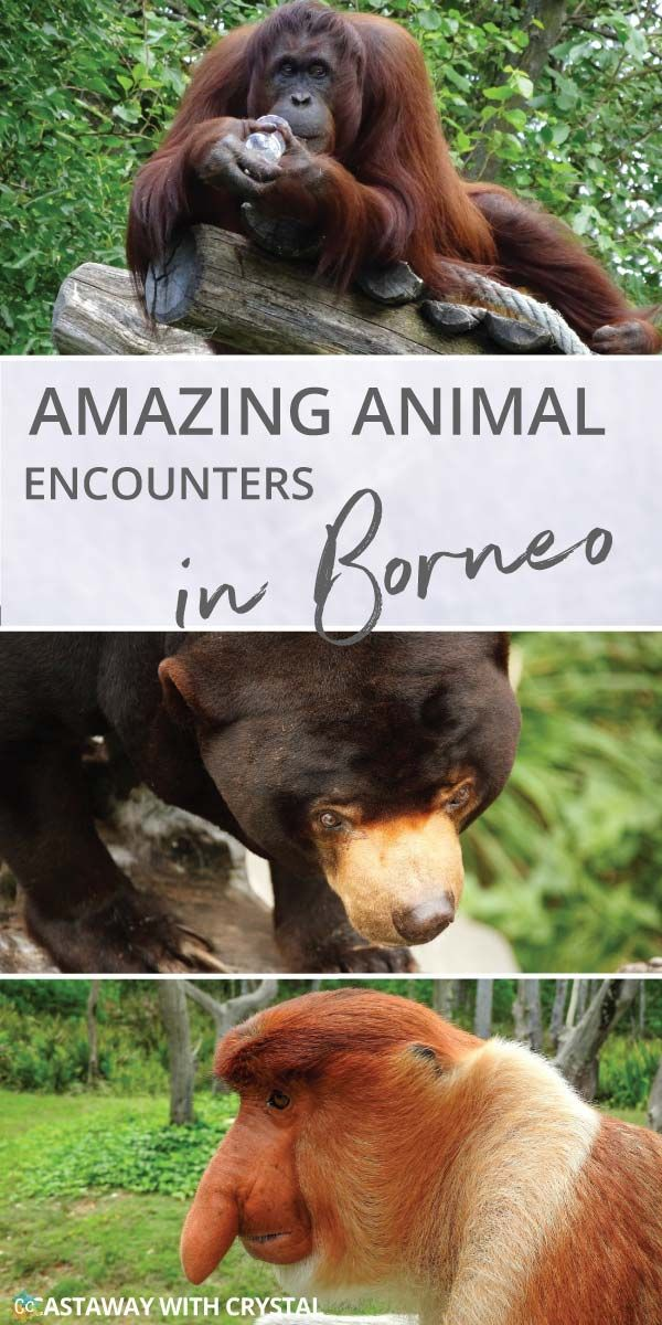 What animals can you see in Borneo? | Amazing animals in Borneo | How to see orangutans in the wild | How to see pygmy elephants | Can you see flying lemurs in Borneo? | See sun bears in Borneo | #Borneo #Orangutan #Elephant #Monkey #Bear #Lemur via @CastawayCrystal