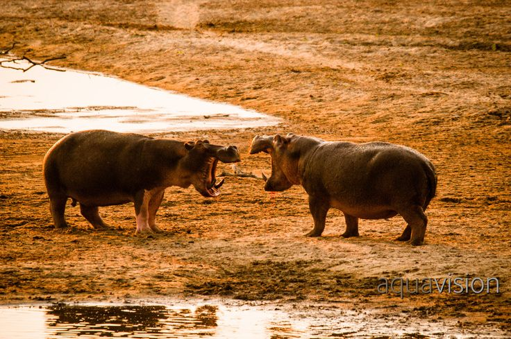https://flic.kr/p/SuuPVw | Hippo Standoff in the Luangwa River | Hippo Fight on the Luangwa River #AnimalFightClub