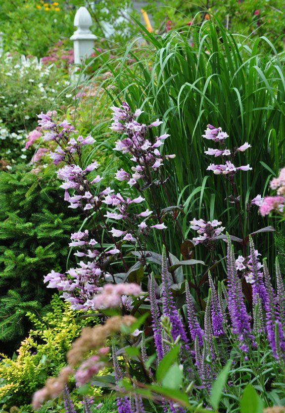 Penstemon 'Dark Towers' has deep maroon stems with pale mauve flowers.  Full sun. Normal, sandy or clay soil are fine. Average to dry conditions. Height: 60-90 cm, Spread: 45-60 cm. Zones: USDA 3-9   Three Dogs in a Garden