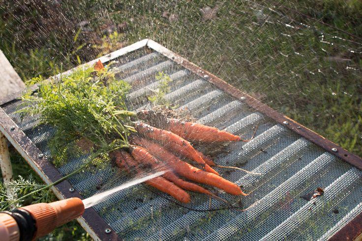 washing carrots