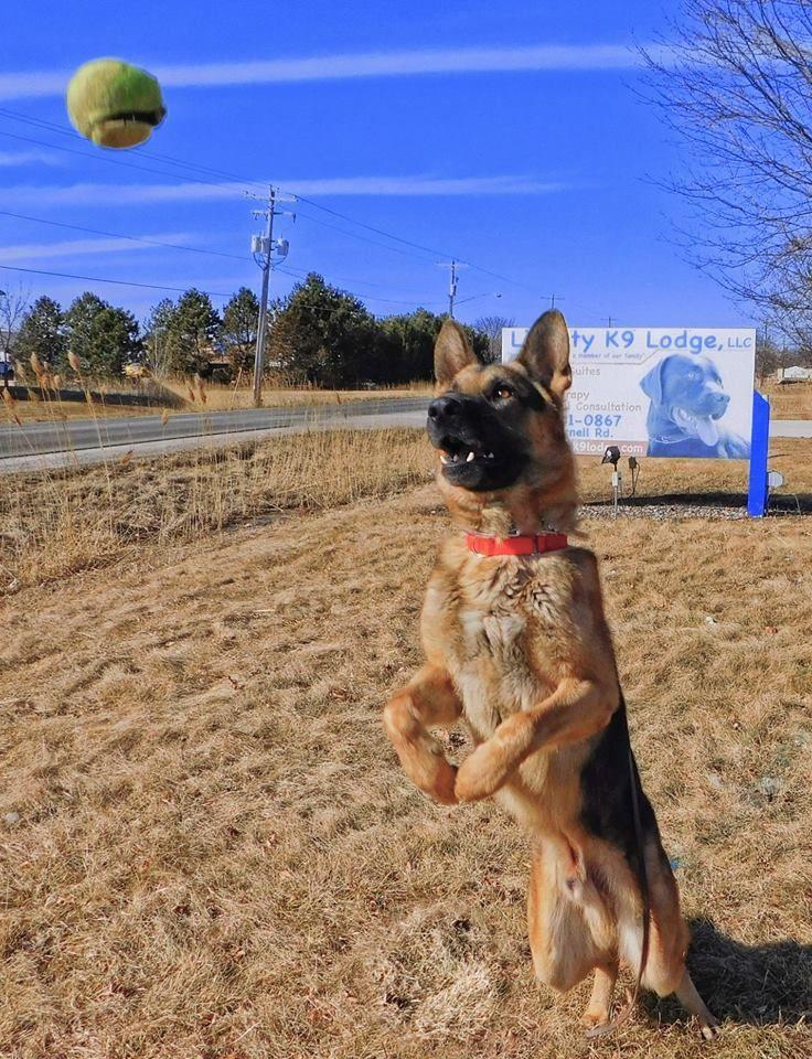 Adopt Koby On Dog Adoption Rescue Dogs Shepherd Dog